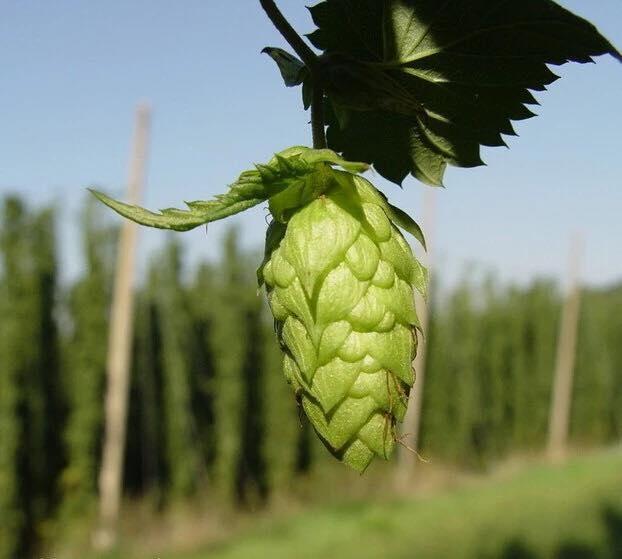 ฮอป (ทำเบียร์) - Common Hops Seeds สำหรับทำเบียร์ดื่ม - สมาร์ทฟาร์มดีไอวาย  Designed by SmartAISolution co.,Ltd. Product Detail by SmartFarmDIY